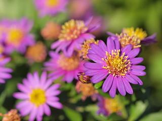 コンギクの花