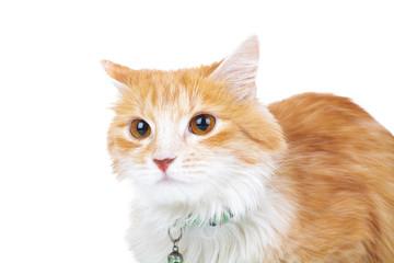 head of an orange cat