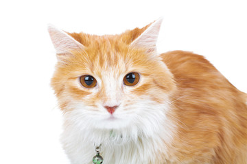 red and white cat looks at the camera