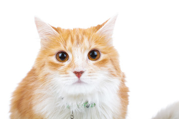 shocked red cat looks at the camera
