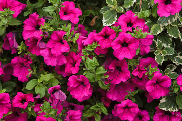 Petunia flowers. Background texture.