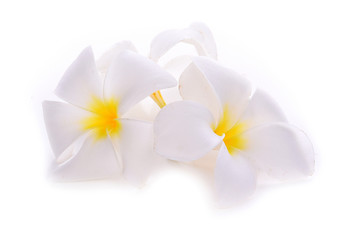 frangipani flower isolated on white backgrounds