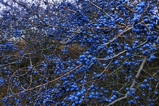 Blackthorn fruits on a bush. Blue sloe berries at early autumn.
