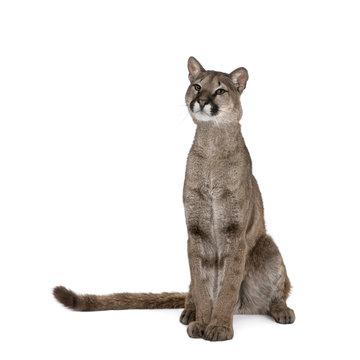 Portrait of Puma, Puma concolor, 1 year old, sitting against white background, studio shot