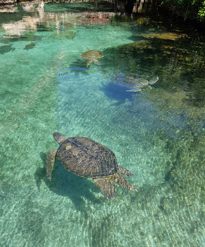 marine turtles in xcaret
