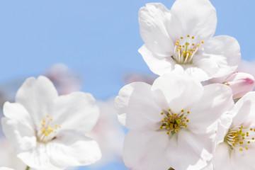 桜のソメイヨシノ
