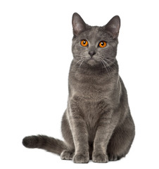 Chartreux, 9 months old, sitting against white background
