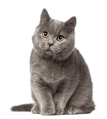 British Shorthair looking away, 7 months old against white background
