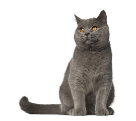 British Shorthair, 7 months old, sitting against white background