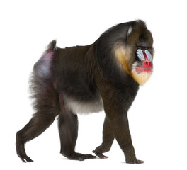 mandrill (Mandrillus sphinx) is a primate of the Old World monkey 22 years old