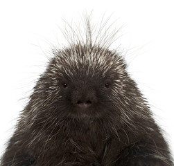 Portrait of North American Porcupine, Erethizon dorsatum, also known as Canadian Porcupine or Common Porcupine against white background