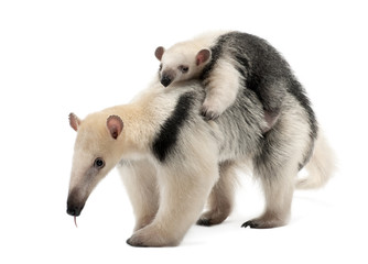 Tamandua, Tamandua tetradactyla mother, 3 years old, and child, 3 months old, walking against white background