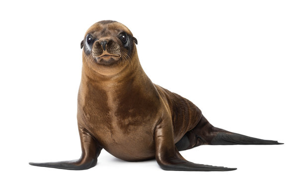 Young California Sea Lion, Zalophus californianus, portrait, 3 months old against white background