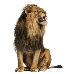Poster Lion Lion sitting, roaring, Panthera Leo, 10 years old, isolated on white