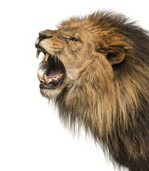 Close-up of a Lion roaring profile, Panthera Leo, 10 years old, isolated on white