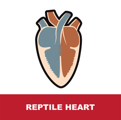 reptile schematic heart anatomy vector illustration