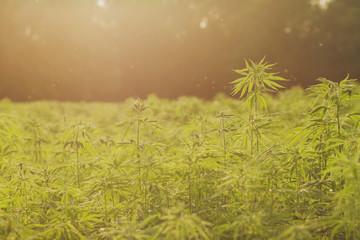 hemp or cannabis industrial plantation, dreamlike bokeh lights