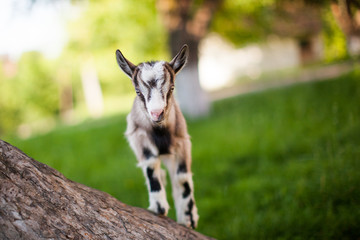 .beautiful goat's photo climbed onto the tree