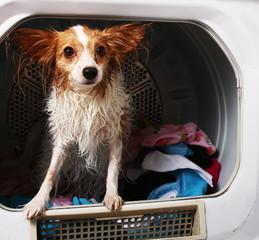 Wet Dog in Dryer