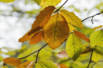 beech tree leaves in autumn