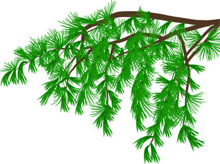 green pine branch with long needles isolated on white