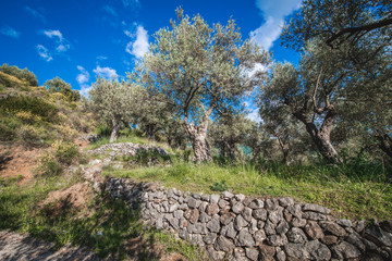 Old olive trees in grove near Bar city in Montenegro