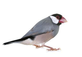 java sparrow in studio