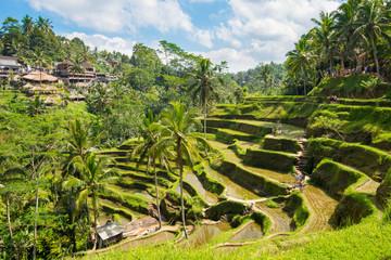 Rice terraces in Tagallalang - Bali, Indonesia.