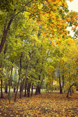 Autumn trees are Maples with yellow and Green leaves. Nature landscape. Early autumn