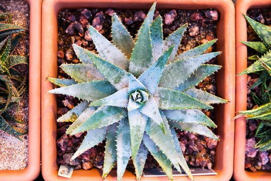 Aloe brevifolia in a planter