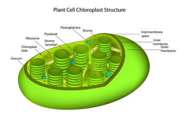 Structure Chloroplast