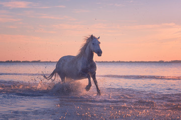 Beautiful white horse galloping on the water at soft sunset light, Parc Regional de Camargue, Bouches-du-rhone department, Provence - Alpes - Cote d'Azur region, south France