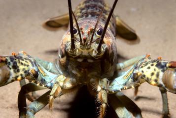 Magdalen Island northern lobster