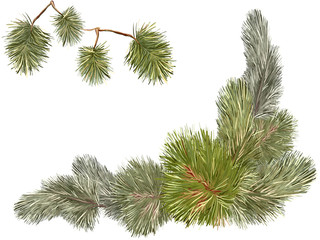 Pine tree branches