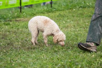 cane alla ricerca del tartufo
