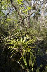 fougère à longues lanières, Campyloneurum phyllitidis, Corkscrew Swamp sanctuary, SanctCorkscrew Swampuaire d'Audubon, Floride, Etats Unis