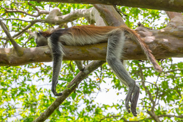 Wild Red Colobus monkey sleeping on a tree branch in tropical forest on Zanzibar. Lazy concept.