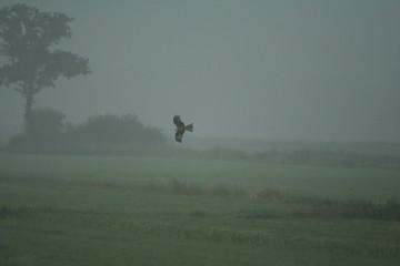 Rotmilan im Morgennebel