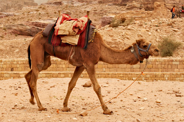 One camel walking around, waiting for tourist for their ride around Petra in Jordan.