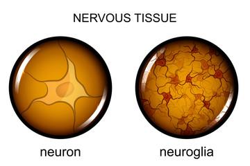 nervous tissue. neuron and neuroglia