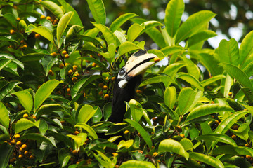 Head of hornbill sitting on a tree in a jungle with small fruit in his beak.