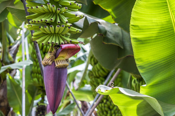 Grüne Bananen an einer Bananenstaude mit einer lila Blüte