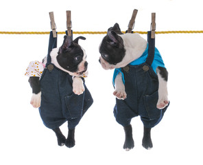 two puppies hanging on the clothesline