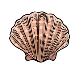 Sea shell Scallop. Color engraving vintage illustration. Isolated on white background.