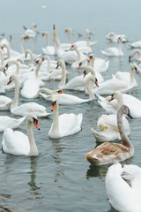 Flock of swans in the lake on the winter day