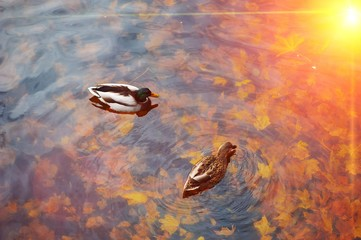A pair of beautiful mallard ducks swim in transparent water, reflecting Golden sunlight, the autumn pond with fallen maple leaves, top view.