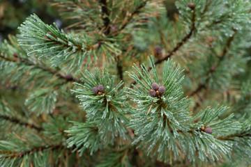 Dew on Pine Branch