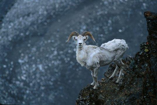 Dall Sheep, Upper Marsh Fork, Arctic National Wildlife Refuge