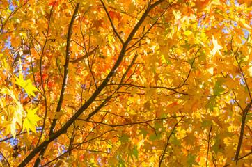 秋・カエデの紅葉