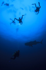 Scuba Diving with Whale Shark